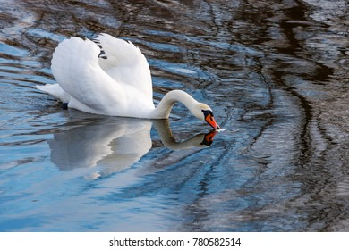 White swan with raised wings floating on the water surface of the river