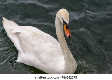 A white swan with red beak swimming in Lake  Luzern, Switzerland