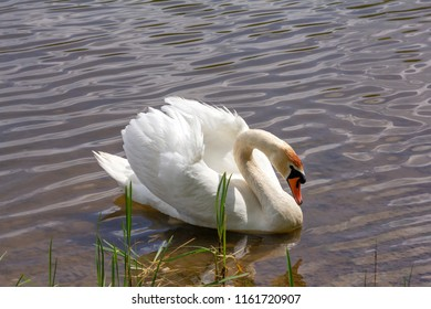 White Swan with reflection in the water near the shore. A beautiful white mute Swan (Cygnus olor) floats on the lake, he bowed his head. Waterfowl.