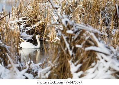 White swan simws between hay bushes in winter