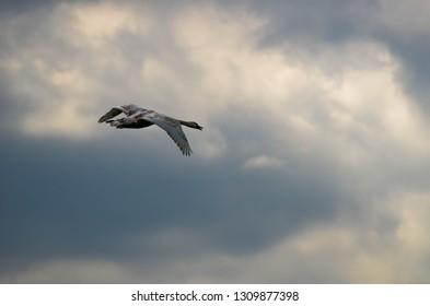 White swan , sky