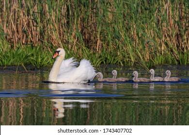 white swan with small chicks in Danube Delta, Romania