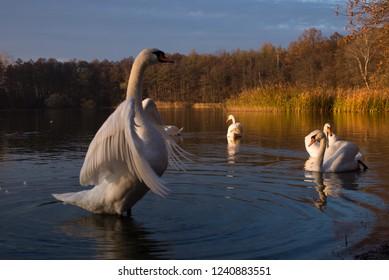 White swan spread its wings. White swan wings spread on water in sunset landscape. Swan spread wings water.
