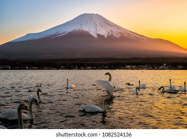White swan spreading their wings with background of Mountain Fuji in Beautiful sunset at Yamanakako Lake, Japan