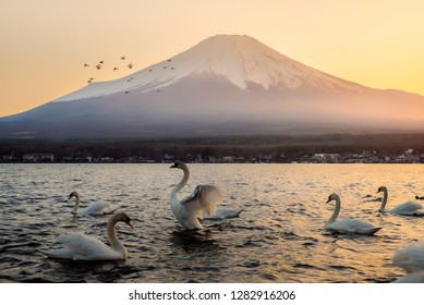 White swan spreading their wings with background of Mountain Fuji in Beautiful sunset at Yamanakako Lake, Japan.
