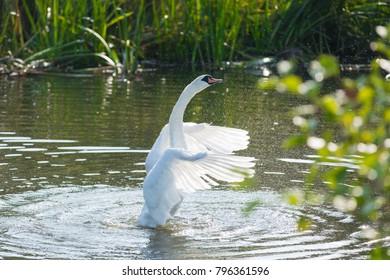 White swan spreading wings