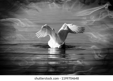 White swan spreading its wings in Lake Balaton in black and white