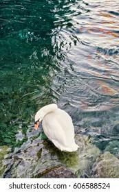 White swan standing on the stone at Lake Geneva shore in Geneva, Switzerland