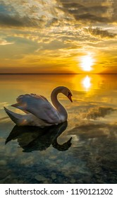 White swan sunset water scene. Sunset swan reflection in water. Sunset swan silhouette. Swan sunset reflection water