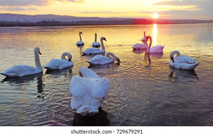 White swan at sunset in winter