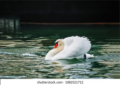 White swan swim in water scene