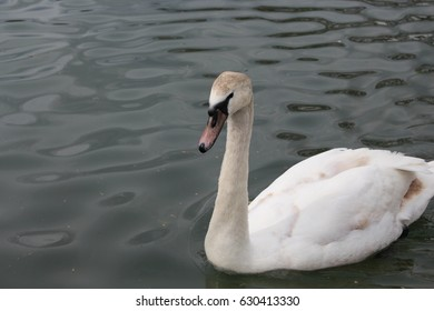White swan swimming in a lake