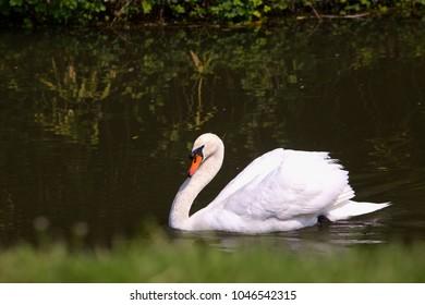 White swan swimming in the lake, horizontal image