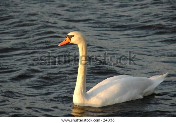 A white swan swimming right into the sunlight.