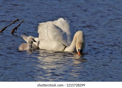 White Swan teaching baby Cygnet swan learning skills