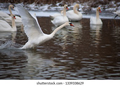 The white swan is trying to fly on the swan's lake.