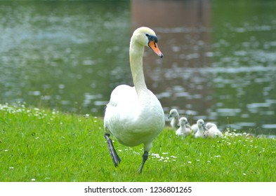A white swan is walking up the grassy slope of a riverbank. It is dotted with small white flowers. Behind her are five small cygnets. A building is reflected in the ripples of the water.
