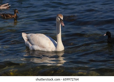 White swan water. White swan swimming in the blue sea