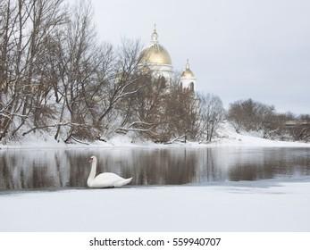 White swan wintering on the Tsna river. Morshansk