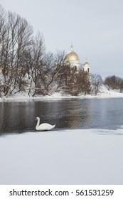 White swan wintering on the Tsna river in Morshansk
