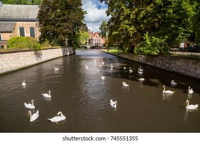 White swans in Bruges, Belgium