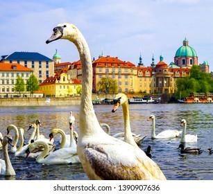 White swans in city river in Prague. Prague river white swans. White swans in Prague river. White swan portrait