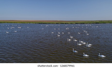 white swans (cygnus cygnus) in Danube Delta, Romania