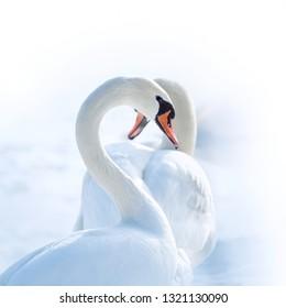 white swans with heart-shape necks on white background