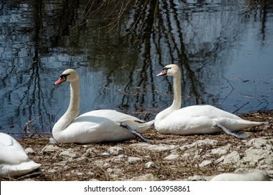 White Swans near the water