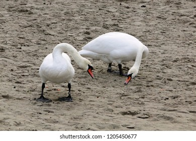 White swans on the beach