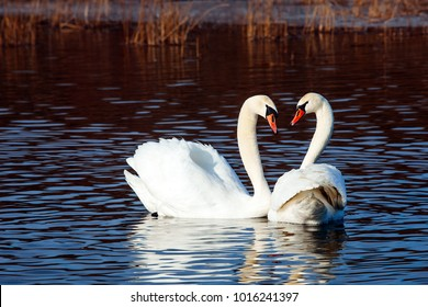 White swans on a blue lake. Beautiful white swan with the family in swan lake, romance, seasonal postcard, selective focus.