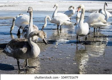 White swans on the frozen coast of Baltic sea, Latvia, Jurmala