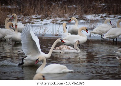 White swans on the lake.