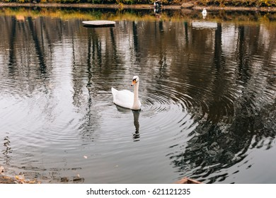 White swans on the lake. Autumn park, yellow leaves on the trees.