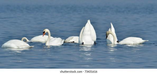 white swans on the lake (cygnus olor)