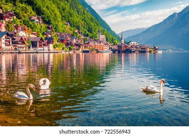 White swans on the lake Hallstatter See. Sunny morning scene on the pier of Hallstatt village in the Austrian Alps, Liezen District of Styria, Austria, Alps. Europe. Traveling concept background.