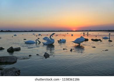 White swans on Lake Sasyk-Sivash at sunset near Evpatoria in Crimea