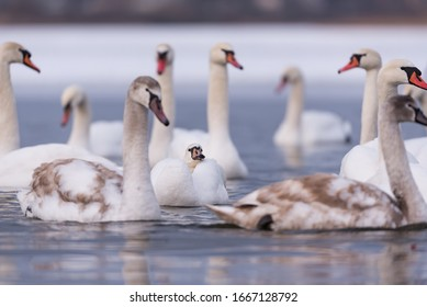 White swans on a lake in winter in Gorodok, Lviv region.