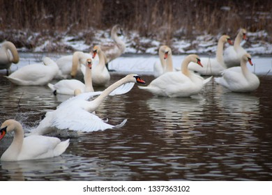 White swans on the pond.