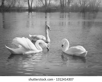 white swans on the river.A flock of white swans floating on the water.Photo in grey tones.