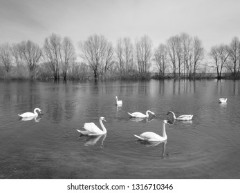 white swans on the river.A flock of white swans floating on the water.