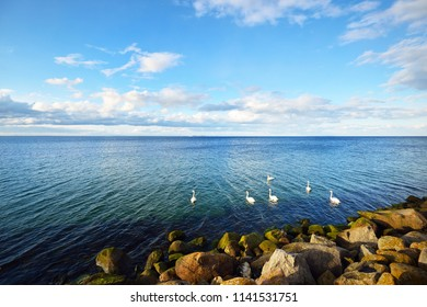 White swans on the sea near the stony shore on a clear spring day, Norway