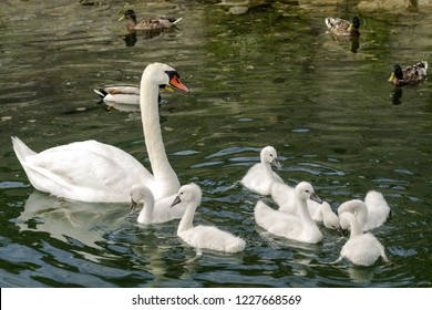 White Swans in Ontario Lake with Swanlings