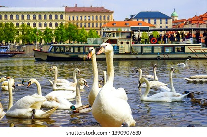 White swans in Prague city river view. Prague river white swans. White swans in Prague river. White swans in river