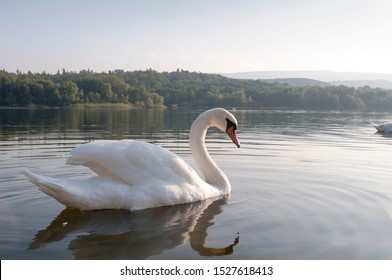 white swans with small swans on the lake