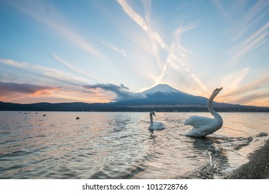 White swans are swiming in the lake with mountain Fuji at the sunset and twilight sky