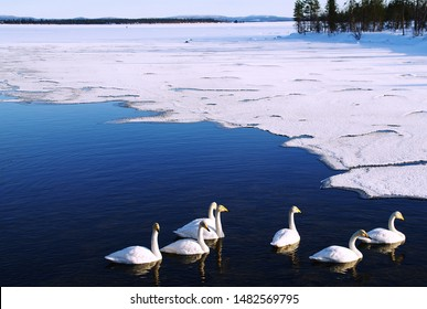 White swans are swimming in an icy lake in Finnish Lapland