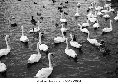 White swans swimming in lake. Beautiful black and white view with many white swans swimming over lake.