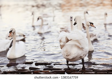 white swans in the water / wild beautiful birds, swans in nature