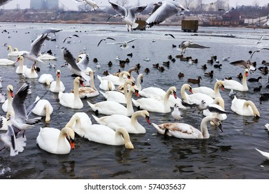 White swans, wild ducks and gulls swimming in sea water in winter. Fighting seagulls beg for food from people. Birds wintering cold.